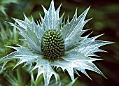 ERYNGIUM GIGANTEUM,  MISS WILLMOTTS GHOST OR GIANT SEA HOLLY.