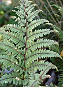 ATHYRIUM OTOPHORUM,  ENGLISH PAINTED FERN,  AURICULATE OR EARED LADY FERN.