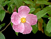 CISTUS SILVER PINK SYN: GRAYSWOOD PINK