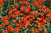 HELIANTHEMUM FIRE DRAGON