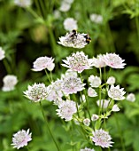 ASTRANTIA MAJOR BERENDIEN STAM