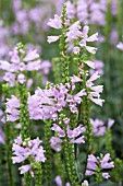 PHYSOSTEGIA VIRGINIANA SUMMER SPIRE