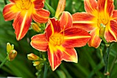 HEMEROCALLIS HOLIDAY MOOD