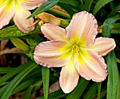 HEMEROCALLIS SELECTION