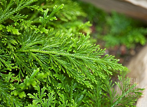 SELAGINELLA_PALLESCENS