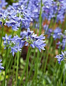 AGAPANTHUS LILLIPUT PALE FORM