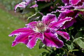 CLEMATIS FIREWORKS