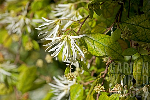 LOROPETALUM_CHINENSE