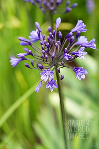 AGAPANTHUS_MIDNIGHT_BLUE