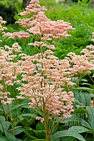RODGERSIA_KUPPERMOND