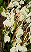 ROSCOEA CAUTLEYOIDES KEW BEAUTY