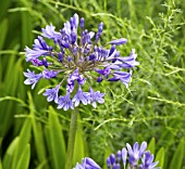 AGAPANTHUS BLUE BIRD