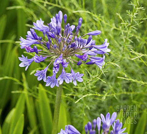 AGAPANTHUS_BLUE_BIRD