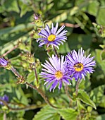 ASTER ASPERULUS (AND HOVERFLY)