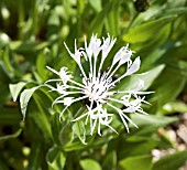 CENTAUREA LADY FLORENCE HASTINGS