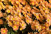 CHRYSANTHEMUM COTTAGE APRICOT