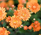 CHRYSANTHEMUM PAUL BOSSIER