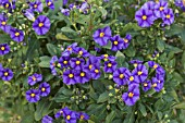 SOLANUM RANTONNETII BLUE FOUNTAIN