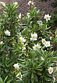 CARPENTERIA CALIFORNICA (AGM)