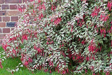 Tre12561 fuchsia magellanica gracilis 39 variegata 39 asset for Fuchsia magellanica
