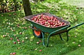 WINDFALL APPLES, JULY