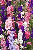 DELPHINIUM AJACIS GIANT IMPERIAL CROWN MIXED