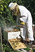 BEEKEEPER ADDING SMOKE TO PACIFY BEES