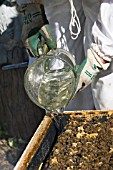 BEEKEEPER POURING SUGAR SOLUTION FOR OVER-WINTERING BEES