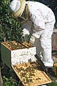 BEEKEEPER PREPARING BROOD CHAMBER FOR OVER-WINTERING