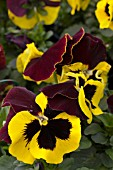VIOLA DELTA RED & YELLOW WING