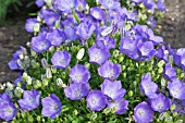 CAMPANULA CARPATICA BLUE CHIPS