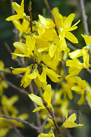 FORSYTHIA_X_INTERMEDIA_WEEKEND_COURTALYN