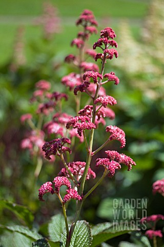 RODGERSIA_CHOCOLATE_WINGS