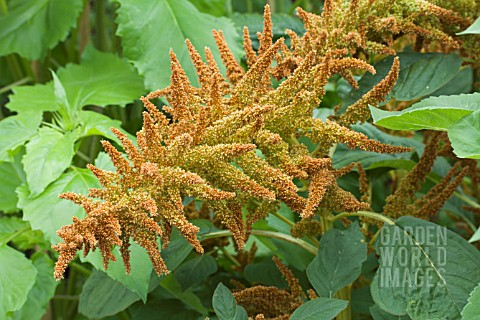 AMARANTHUS_CRUENTUS_AUTUMN_TORCH