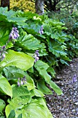 HOSTA SUM & SUBSTANCE WITH DERMERA PELTATA