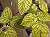 RASPBERRY LEAVES,  LIME INDUCED CHLOROSIS,  IRON DEFICIENCY SYMPTOMS
