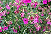 NICOTIANA WHISPERS MIXED RED