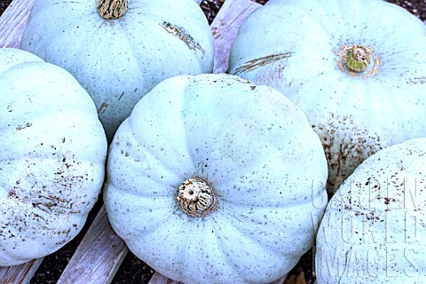 CUCURBITA_MAXIMA_WINTER_CROWN_PRINCE