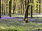 BLUEBELL WOOD (HYACINTHOIDES NON SCRIPTA)