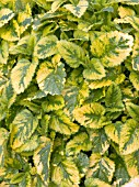MELISSA OFFICINALIS AUREA (GOLDEN LEMON BALM)