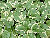 AEGOPODIUM PODAGRARIA VARIEGATED (GROUND ELDER)