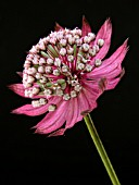 ASTRANTIA MAJOR RUBY WEDDING (GREATER MASTERWORT)