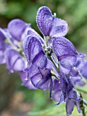 ACONITUM NAPELLUS,  MONKSHOOD