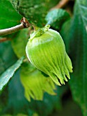 CORYLUS AVELLANA, (HAZEL NUT GROWING)