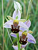 OPHRYS APIFERA,  BEE ORCHID,  NATIVE ORCHID