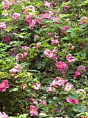 ROSA VILLOSA DUPLEX,  WOLLEY DOD ROSE