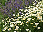 ANTHEMIS & SALVIA,  HERBACEOUS BORDER,  WEST DEAN GARDENS