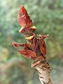 APHIS AND SCALES ON SORBUS SARGENTII STICKY BUD