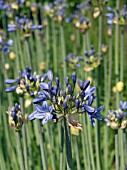 AGAPANTHUS SP,  CUT FLOWER,  HARDY BULB