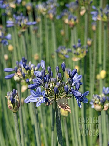 AGAPANTHUS_SP__CUT_FLOWER__HARDY_BULB